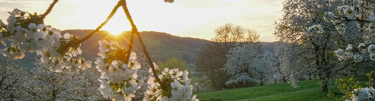 Kirschbäume in voller Blüte in der Fränkischen Schweiz