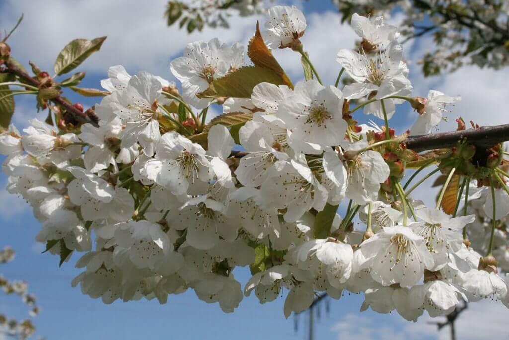 Ganz in weiß – Die Kirschblüte verzaubert die Fränkische Schweiz